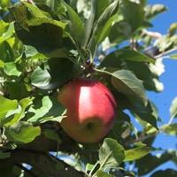 apple_alone